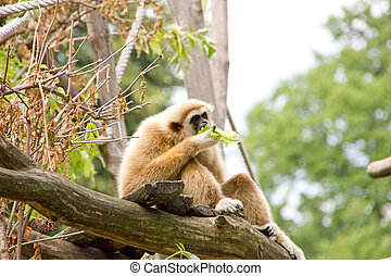 White-handed gibbon eating some leaves