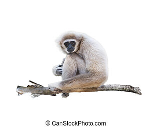 White-handed gibbon isolated in white - Portrait of...
