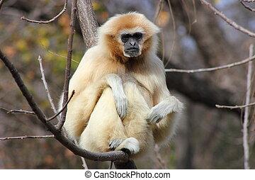 White Handed Gibbon - White handed gibbon sitting on a...