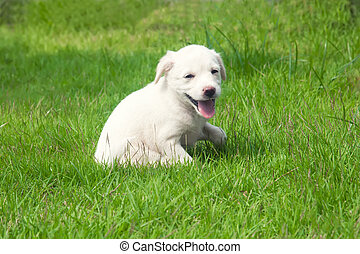 White happy puppy
