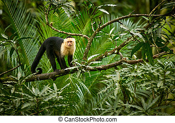 White-headed Capuchin, black monkey sitting on tree branch in the dark tropic forest. Wildlife Costa Rica.
