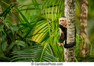 White-headed Capuchin, black monkey sitting on tree branch in the dark tropic forest. Wildlife Costa Rica. Monkey eating banana