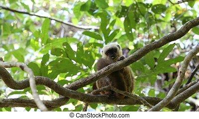 white-headed lemur (Eulemur albifrons) on tree -...