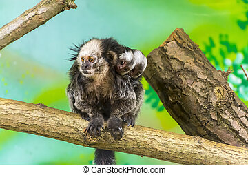 White-headed marmoset baby - White-headed or Geoffroy's...