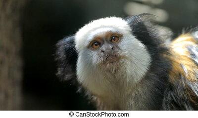 White-headed marmoset - Callithrix geoffroyifur. Geoffroyi...