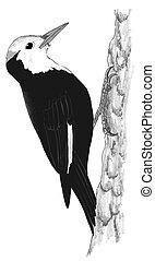 white-headed, wioodpecker