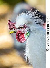 White hen close up