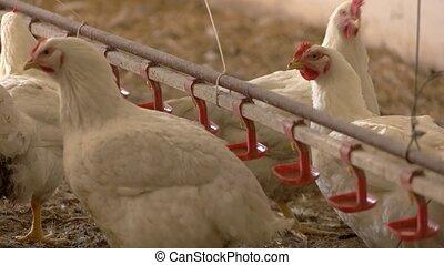 White hen drinks water.