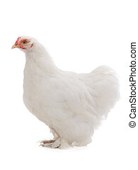 white hen isolated