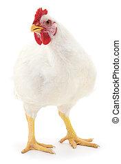 white hen isolated. - white hen isolated on white, studio...