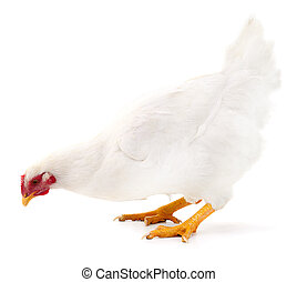 White hen isolated.