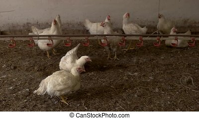White hens stand on straw. Chickens in coop. Farm is...
