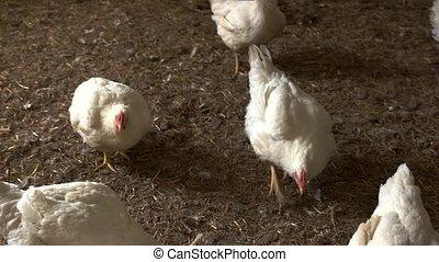 White hens walking on straw.