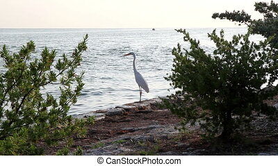 White Heron bird Florida Keys - White Heron bird in the...