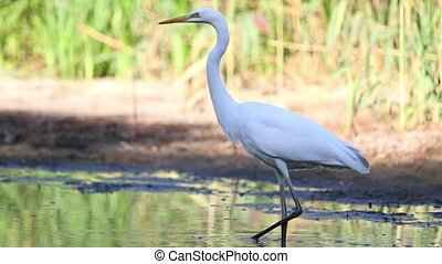 White heron catches fish in a shallow puddle