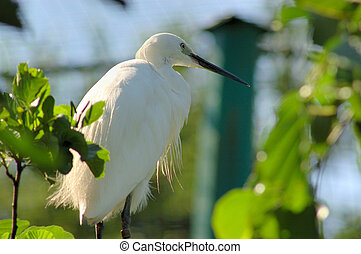 White heron, egret. - White heron, egret in a tree.