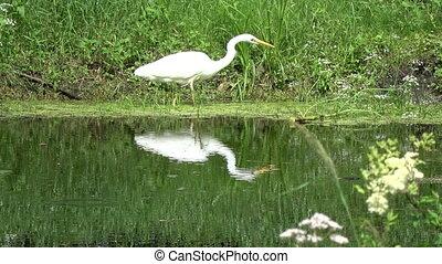 white heron Egretta alba hunting on lake coast - Beautiful...
