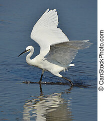 white heron fishing in the low water