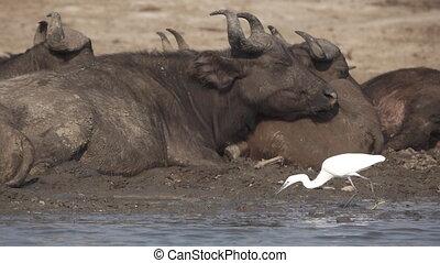 White heron fishing near buffalos in slow-mo
