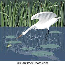 White heron hunts in the reeds - Egret hunts for a frog in...