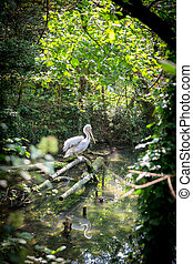 White Heron in a stream in the forest.