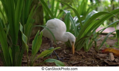 White heron in a tall grass looking for a food.