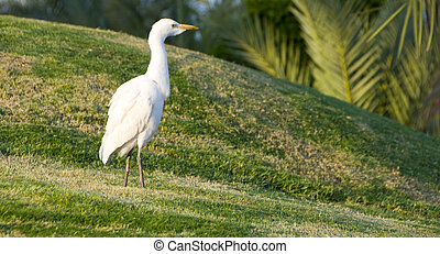 White heron in the field
