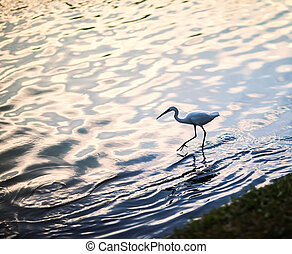 White heron in the lake at sunset