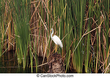 heron in the reeds on the pond