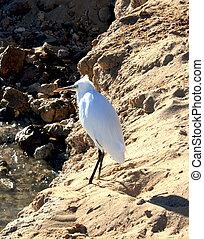 White heron on a sand