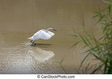 White Heron or Bittern. - White Heron or Bittern are catch ...
