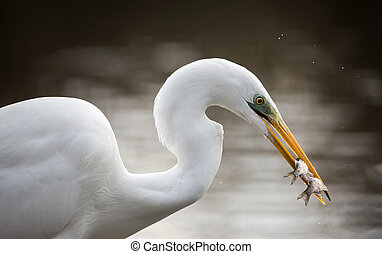 White heron/Ardea Alba, prtotected bird