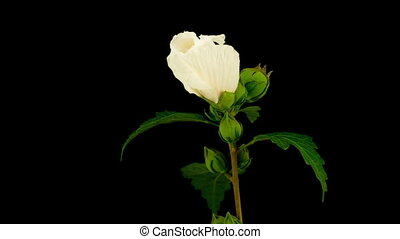 White Hibiscus Flower Blooming. Black Background. Timelapse.
