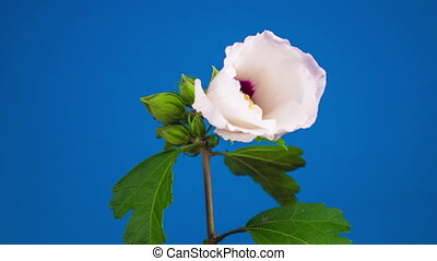 White Hibiscus Flower Blooming. Blue Background. Timelapse.