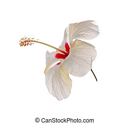 White Hibiscus flower on white background