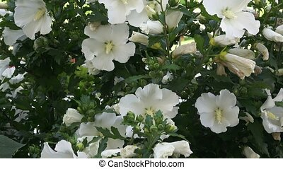 White hibiscus flower with dark green leaves on bush