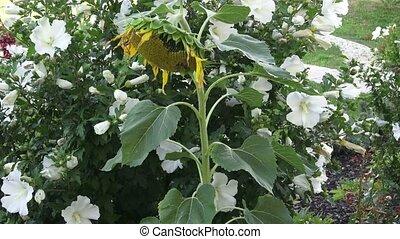 White hibiscus flower with dark green leaves. Sunflower in the garden.