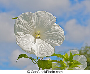 White Hibiscus surrounded by sky.