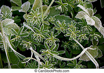 White hoar frost on green leaves.