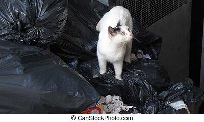 White homeless cat seeking a food in a dumpster or trash bin.