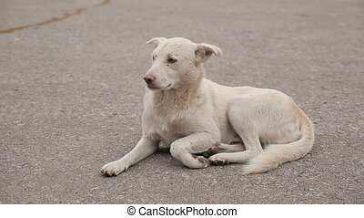 White Homeless Dog on the Road - homeless dog lying on the...