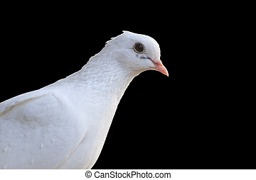 White homing pigeon portrait isolated on black