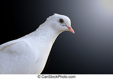 White homing pigeon portrait isolated on black and hotspot
