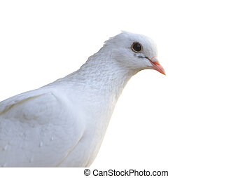 White homing pigeon portrait isolated on white