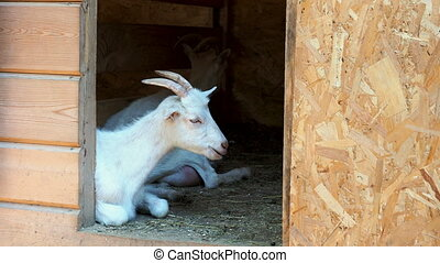 White horned goat lies at the entrance to the barn and chews...