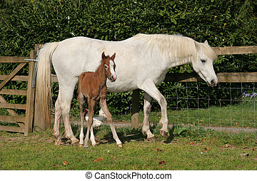 White Horse and Foal