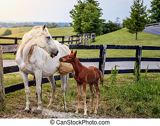 Mare and her colt by the fence on a farm in Central Kentucky