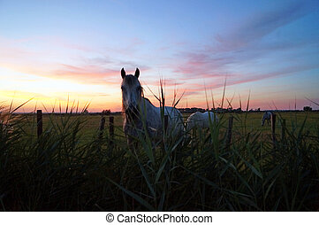 White horse at sunset