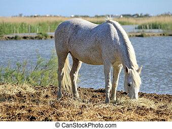 White horse eating, Camargue, France