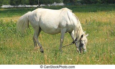 White horse grazes in a meadow